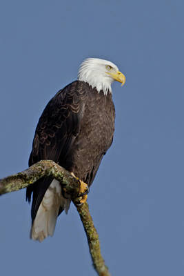 Photograph - Bald Eagle by Craig Strand