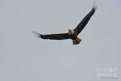 Photograph - Bald Eagle by David Arment