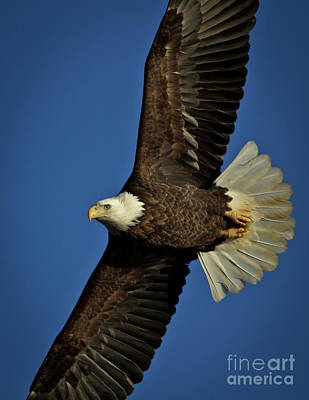 Photograph - Bald Eagle by Douglas Stucky