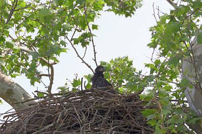 Photograph - Bald Eagle Eaglet 2 by Susan Rissi Tregoning