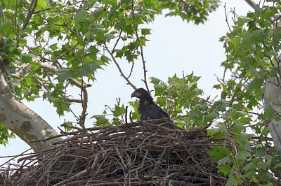 Photograph - Bald Eagle Eaglet  by Susan Rissi Tregoning