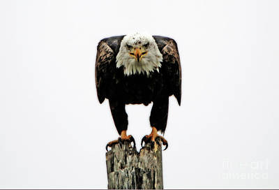 Photograph - Bald Eagle by Elizabeth Winter