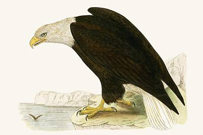 Eagle Drawing - Bald Eagle by English School