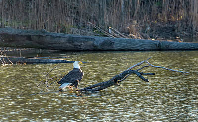 Photograph - Bald Eagle Enjoying The Sunlight On A Log In A Pond by Patrick Wolf