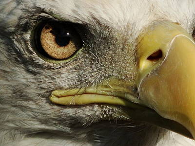 Bald Eagle Eye Art Print