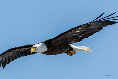 Photograph - Bald Eagle Eyeing A Fish by Stephen Johnson
