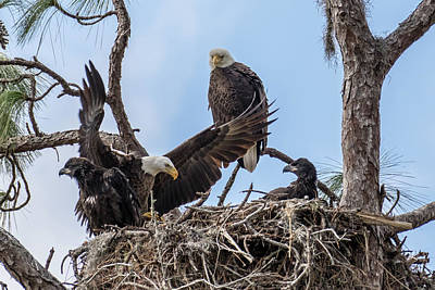 Photograph - Bald Eagle Family by Phil Stone