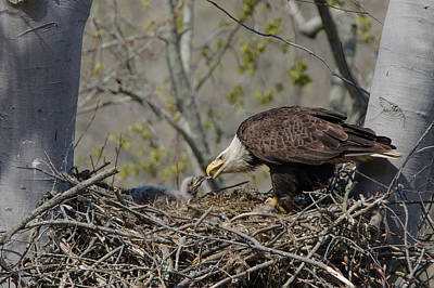 Photograph - Bald Eagle Feeding by Ann Bridges