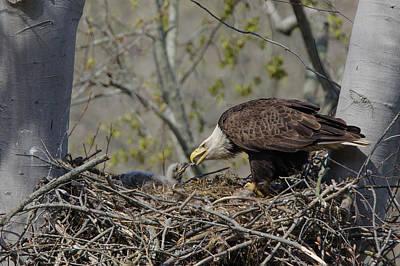 Bald Eagle Feeding Art Print by Ann Bridges