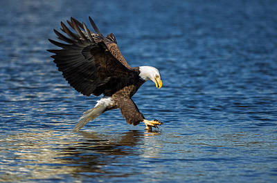 Photograph - Bald Eagle Fishing by Lori Coleman