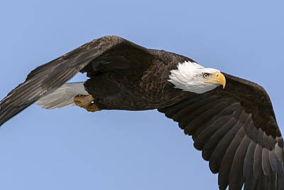 Photograph - Bald Eagle Flight 2 by Liza Eckardt