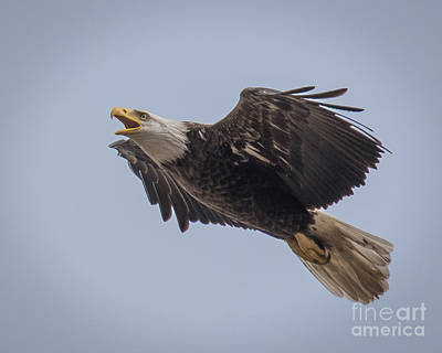 Photograph - Bald Eagle Fly By 14 by Ronald Grogan