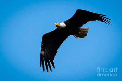 Photograph - Bald Eagle Fly By 15 by Ronald Grogan
