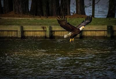 Photograph - Bald Eagle Fly By by Linda Unger