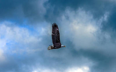 Photograph - Bald Eagle Flying Across A Cloudy Sky by William Bitman