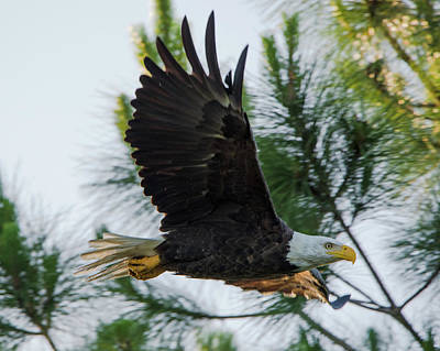 Eagle Photograph - Bald Eagle Flying At Dawn by Artful Imagery