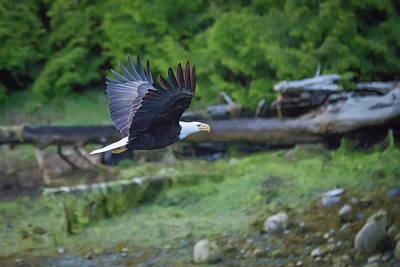 Photograph - Bald Eagle Flying Low by Keith Boone