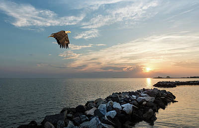 Animals Royalty-Free and Rights-Managed Images - Bald Eagle flying over a jetty at sunset by Patrick Wolf