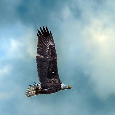 Photograph - Bald Eagle Flying Portrait Against Cloudy Sky Closeup by William Bitman