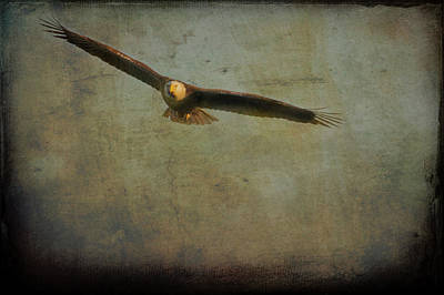 Photograph - Bald Eagle Flying   Textured by Dan Friend