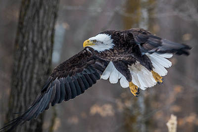 Photograph - Bald Eagle Flying Thru The Forest by Paul Freidlund