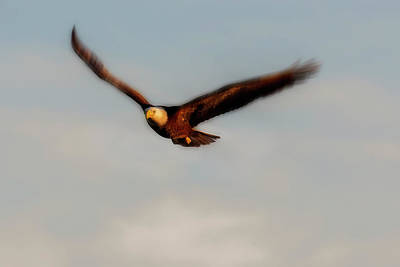 Photograph - Bald Eagle Flying Wing Motion by Dan Friend