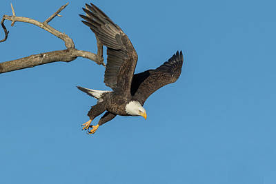 Photograph - Bald Eagle Focuses On Its Prey by Tony Hake