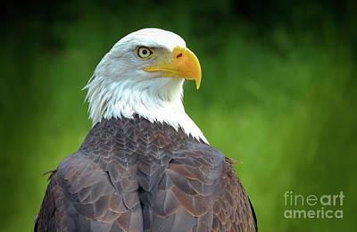 Photograph - Bald Eagle by Franziskus Pfleghart