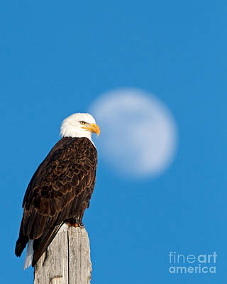 Bald Eagle, Full Moon Art Print