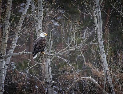 Photograph - Bald Eagle Guardian Of The Hills by Ray Van Gundy