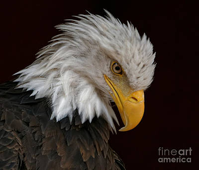 Photograph - Bald Eagle - Head Bowed by Sue Harper