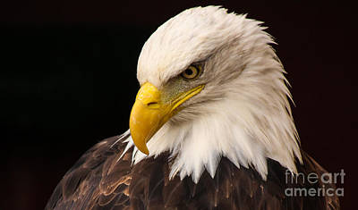 Photograph - Bald Eagle Head by David Warrington