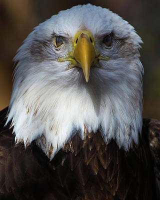 Bald Eagle Head Art Print
