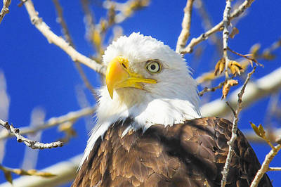 Photograph - Bald Eagle Head Shot by Juli Ellen