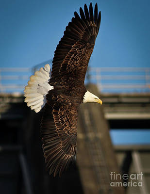 Photograph - Bald Eagle II by Douglas Stucky