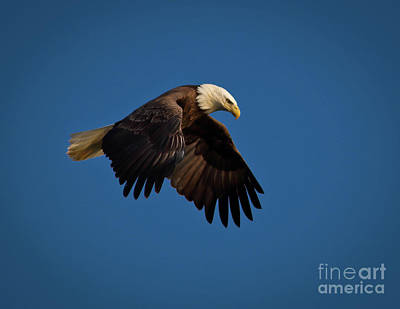Photograph - Bald Eagle IIi by Douglas Stucky