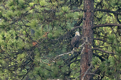 Photograph - Bald Eagle In A Pine Tree, No. 1 by Belinda Greb