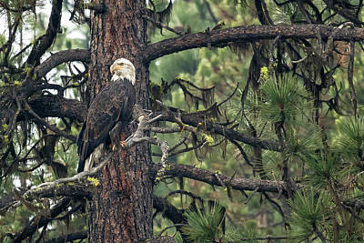 Photograph - Bald Eagle In A Pine Tree, No. 2 by Belinda Greb