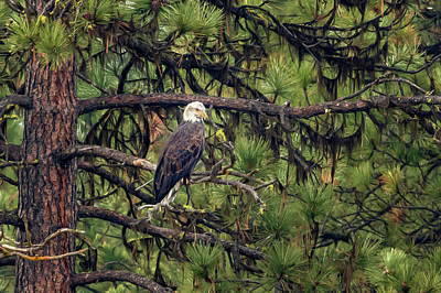 Photograph - Bald Eagle In A Pine Tree, No. 3 by Belinda Greb