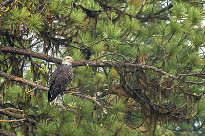 Photograph - Bald Eagle In A Pine Tree, No. 4 by Belinda Greb
