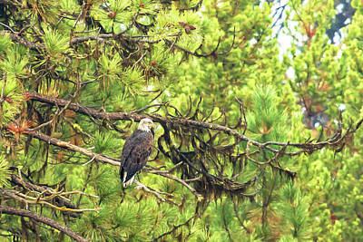 Photograph - Bald Eagle In A Pine Tree, No. 5 by Belinda Greb