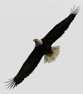 Photograph - Bald Eagle In Flight - 3 by Christy Pooschke
