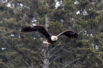Photograph - Bald Eagle In Flight - 5 by Christy Pooschke