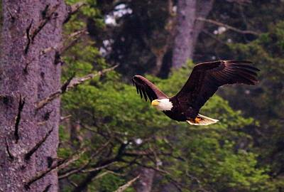 Art Print featuring the photograph Bald Eagle In Flight - 7 by Christy Pooschke