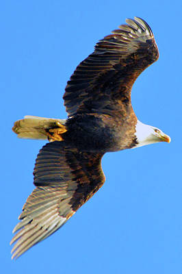 Photograph - Bald Eagle In Flight by Brian O'Kelly