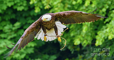 Photograph - Bald Eagle In Flight by Colin Rayner