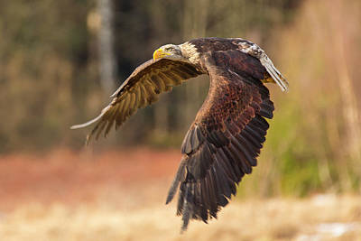 Photograph - Bald Eagle In Flight by David Hare