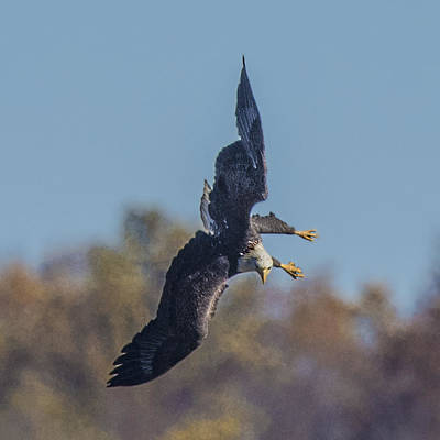 Photograph - Bald Eagle In Flight Looking Down To Land by William Bitman