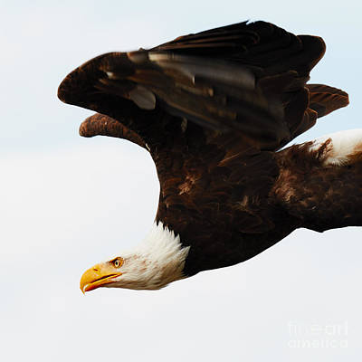 Photograph - Bald Eagle In Flight by Nick  Biemans