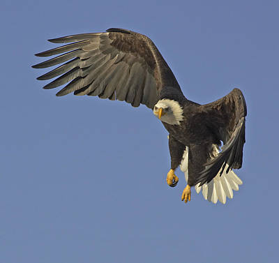 Eagle Photograph - Bald Eagle In Flight  by Tim Grams